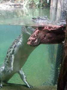 Greedy little croc