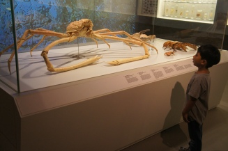 The Japanese Spider Crab has the largest leg span of any arthopod, and can reach 3.8m end to end!
